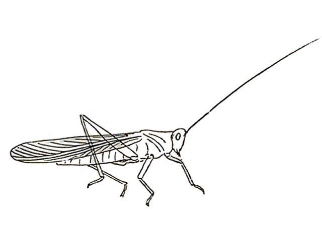 Rekonstruktionszeichnung von Elcana longicornis HANDLIRSCH Bild ©