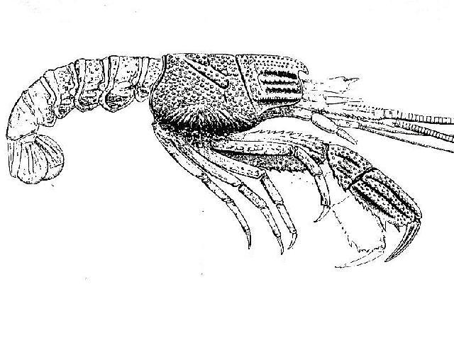 Rekonstruktionszeichnung von Glyphea pseudoscyllarus SCHLOTHEIM Bild ©