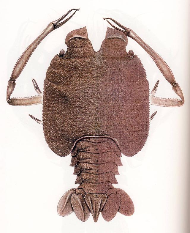Rekonstruktionszeichnung von Knebelia bilobata MUENSTER Bild ©