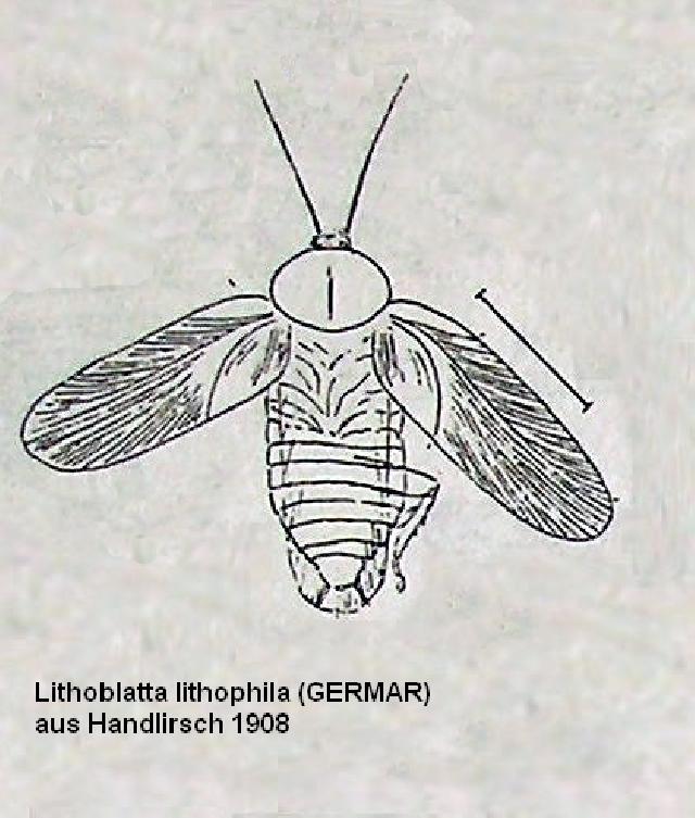 Rekonstruktionszeichnung von Lithoblatta lithophila GERMAR Bild ©