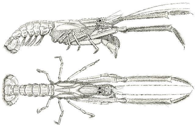Rekonstruktionszeichnung von Mecochirus longimanatus SCHLOTHEIM Bild ©