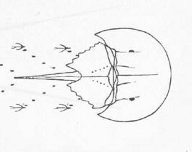 Rekonstruktionszeichnung von Mesolimulus walchi DESMAREST Bild ©