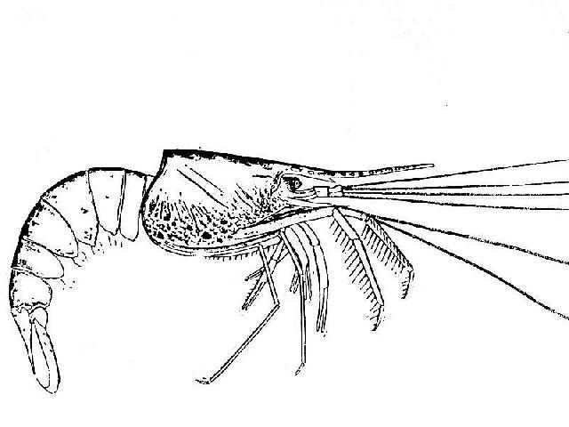 Rekonstruktionszeichnung von Aeger spinipes DESMAREST Bild ©