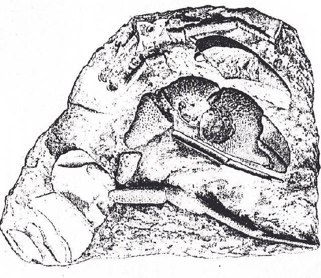 Rekonstruktionszeichnung von Orhomalus deformis OPPEL Bild ©