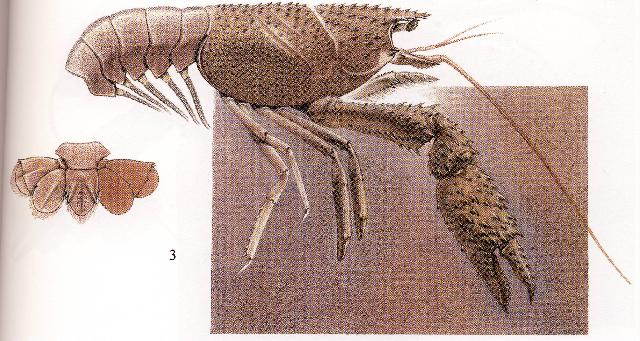 Rekonstruktionszeichnung von Palaeastacus fuciformis SCHLOTHEIM Bild ©