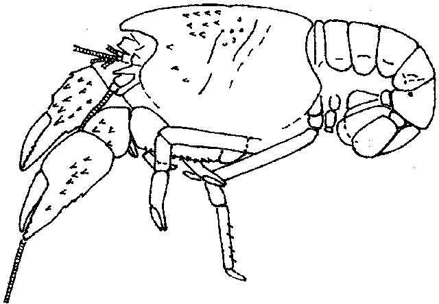 Rekonstruktionszeichnung von Palaeastacus sp.  Bild ©
