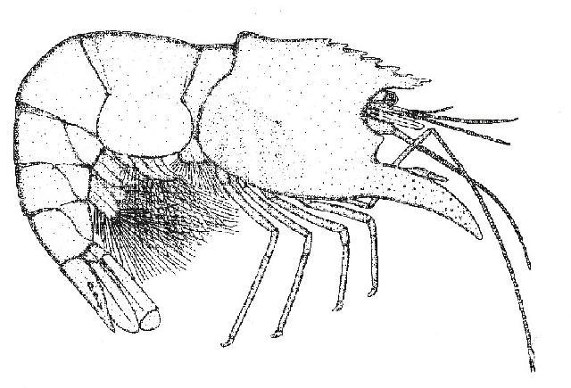 Rekonstruktionszeichnung von Pleopteryx kuempeli SCHWEIGERT Bild ©
