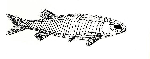 Rekonstruktionszeichnung von Pleuropholis laevissima AGASSIZ Bild ©
