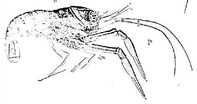 Rekonstruktionszeichnung von Pseudastacus muensteri  Bild ©