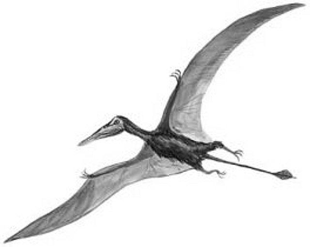 Rekonstruktionszeichnung von Rhamphorhynchus intermedius  Bild ©