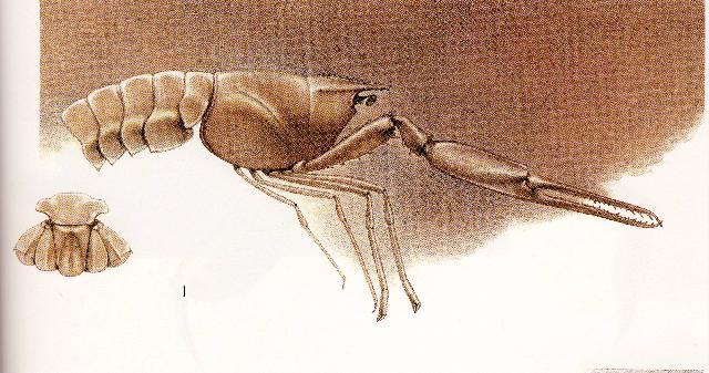 Rekonstruktionszeichnung von Stenochirus angustus MUENSTER Bild ©