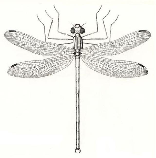 Rekonstruktionszeichnung von Tarsophlebia eximia HAGEN Bild ©