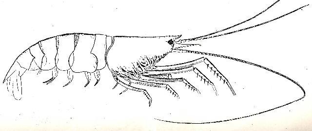 Rekonstruktionszeichnung von Udora brevispina MUENSTER Bild ©