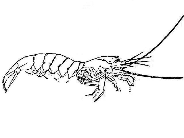 Rekonstruktionszeichnung von Acanthochirana angulata OPPEL Bild ©
