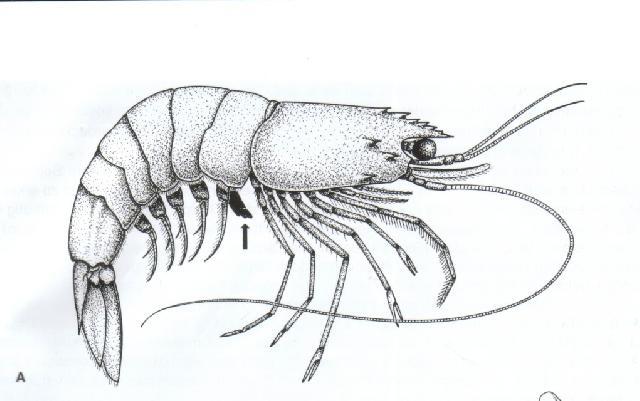 Rekonstruktionszeichnung von Acanthochirana cordata MUENSTER Bild ©