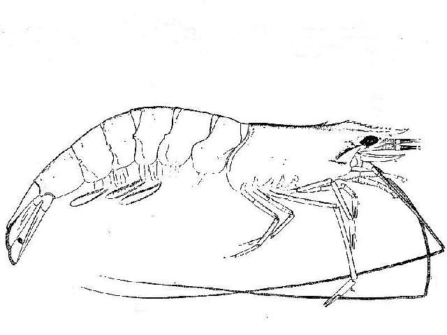 Rekonstruktionszeichnung von Antrimpos speciosus MUENSTER Bild ©