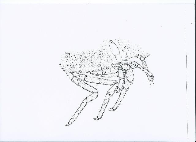 Rekonstruktionszeichnung von Occultocaris frattigianii WINKLER Bild ©