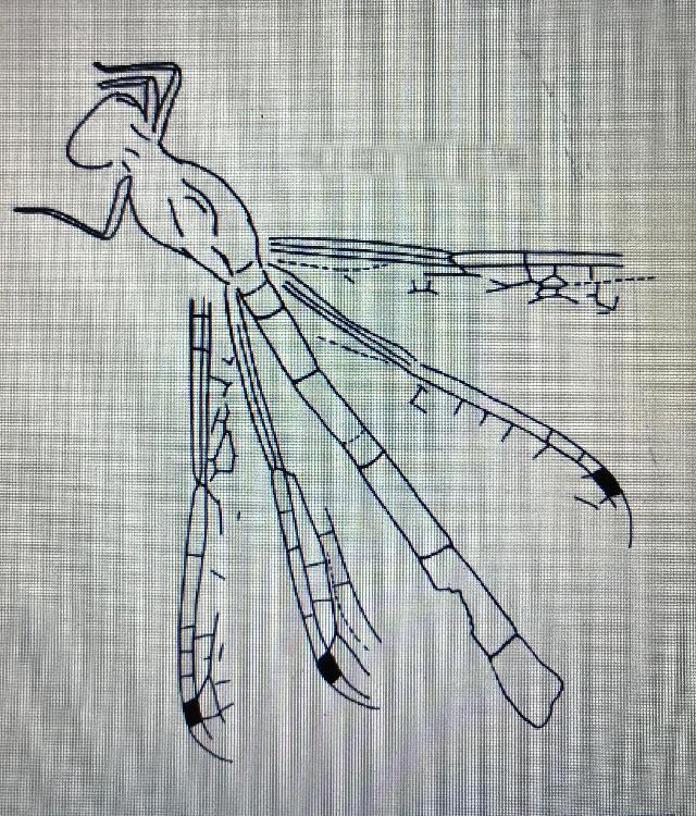 Rekonstruktionszeichnung von Reschiostenophlebia koschny BECHLY Bild ©