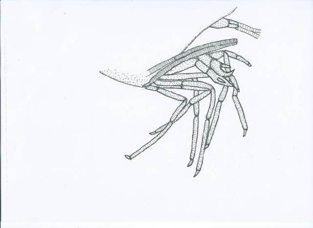 Rekonstruktionszeichnung von Blaculla haugi WINKLER Bild ©