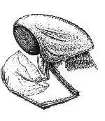 Rekonstruktionszeichnung Clausocaris lithographica