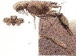 Rekonstruktionszeichnung Eryma modestiforme