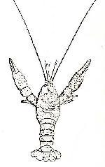 Rekonstruktionszeichnung Eryma leptodactylina