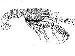 Rekonstruktionszeichnung Glyphea pseudoscyllarus