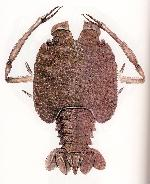 Rekonstruktionszeichnung Knebelia bilobata