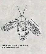 Rekonstruktionszeichnung Lithoblatta lithophila