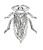Rekonstruktionszeichnung Scarabaeides deperditus