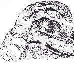Rekonstruktionszeichnung Orhomalus deformis