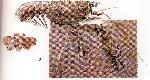 Rekonstruktionszeichnung Palaeastacus fuciformis