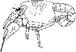 Rekonstruktionszeichnung Palaeastacus sp.