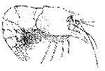 Rekonstruktionszeichnung Pleopteryx kuempeli