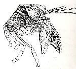 Rekonstruktionszeichnung Pustulina suevica