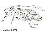 Rekonstruktionszeichnung Pycnophlebia robusta