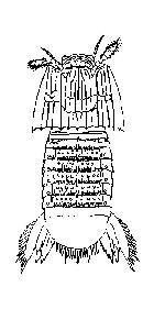 Rekonstruktionszeichnung Sculda pennata