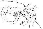 Rekonstruktionszeichnung Bylgia spinosa