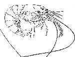 Rekonstruktionszeichnung Acanthochirana longipes