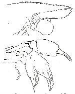 Rekonstruktionszeichnung Harthofia bergeri