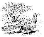 Rekonstruktionszeichnung Archaeopteryx lithographica