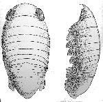 Rekonstruktionszeichnung Brunnella rothgaengerae