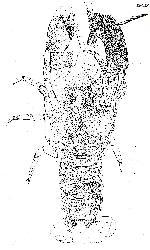 Rekonstruktionszeichnung Gigacerina saemanni