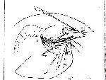 Rekonstruktionszeichnung Blaculla sieboldi