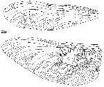 Rekonstruktionszeichnung Bergeraeschnidia inexpectata