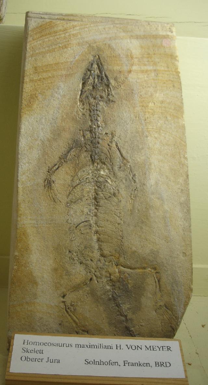 Homoeosaurus maximiliani Bild ©