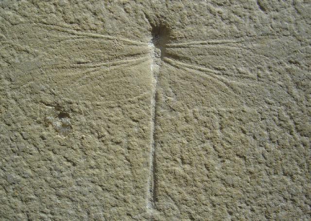 Cymatophlebia longialata Bild ©
