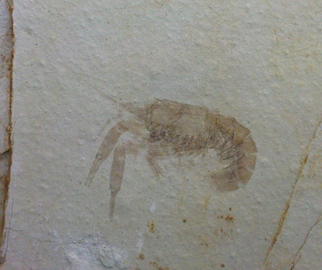 Pseudastacus pustulosus Bild ©