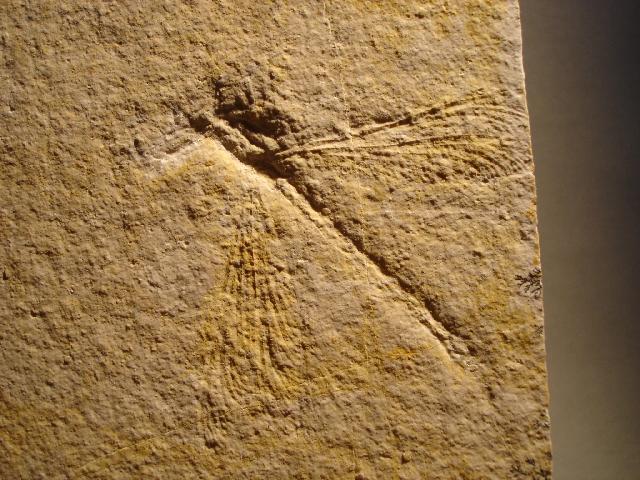 Protostenophlebia jurassica Bild ©