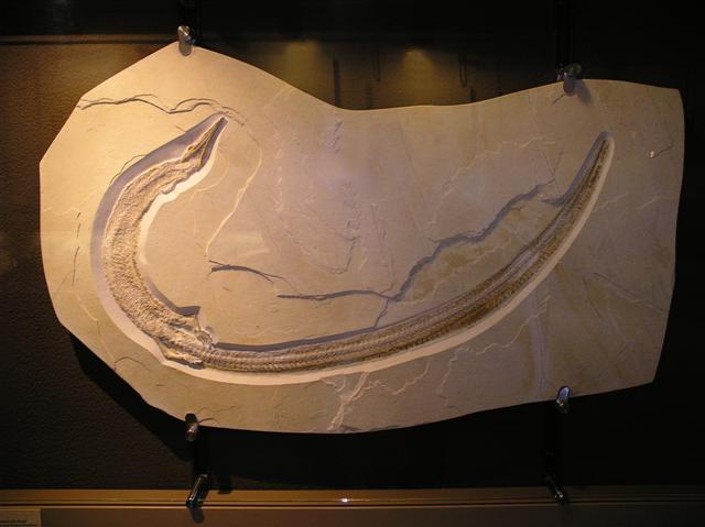 Pleurosaurus ginsburgi Bild ©